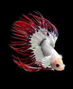 Incredible red and white fish