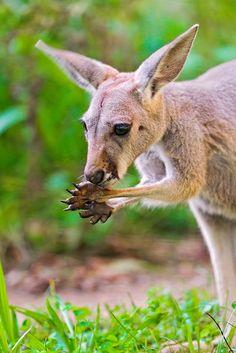 Young Kangaroo Eating (Tambako the Jaguar)