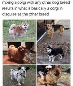 Oh my god cuteness overload funny texts, corgi funny, funny animal memes, cute Funny Animal Memes, Cute Funny Animals, Dog Memes, Funny Animal Pictures, Cute Baby Animals, Funny Cute, Funny Dogs, Funny Memes, Corgi Funny
