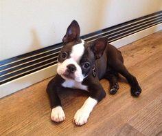 Brindle Boston Terrier Puppies   Police in Halifax find stolen puppy unharmed