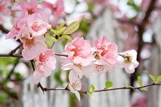 Pink Flowers And A White Picket Fence by Toni Hopper