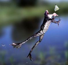 La difícil tarea de dar de comer a una rana