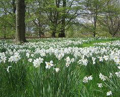 pictures of paperwhites - Google Search