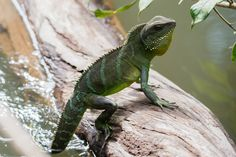 Chinese Water Dragon (Physignathus cocincinus) - Khao Yai National Park, Thailand Photo by Rushenb Khao Yai National Park, National Parks, Amphibians, Mammals, Reptiles, Chinese Water Dragon, Dragon Facts, Thailand Photos, Beautiful Dragon
