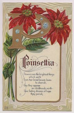 Poinsettia… The Christmas Flower