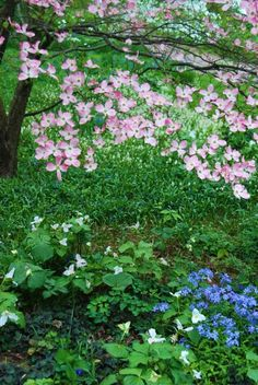 Under the pink-flowering dogwood, white Trillium grandiflorum is spreading nicely, along with a bit of Phlox divaricata. Chanticleer, US