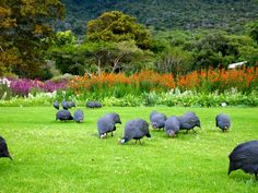 Kirstenbosch Botanical Gardens, Cape Town, S. Africa - Kirstenbosch is the name of a famous botanical garden nestled at the foot of Table Mountain in Cape Town.. The garden is one of nine National Botanical Gardens covering five of South Africa's six different biomes.