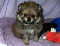 "Teddy Bear Pomeranian Puppies For Sale | ... Pomeranian puppies for sale on-line!!! READ BELOW PHOTO OF ""DANGER"