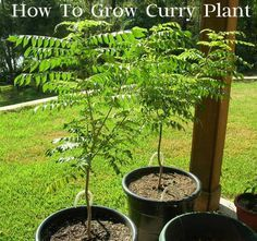 Tips For #Growing Curry #Plant Curry leaves are an essential part of the world-famous Indian curry and many other food items.