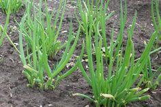 Allium fistulosum / bunching onion