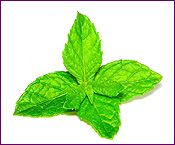Peppermint Essential Oil Profile includes uses, constituents, aromatic description, extraction method, latin name, safety info and references.