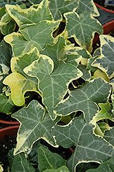 Click to view full-size photo of Yellow Ripple Ivy (Hedera helix 'Yellow Ripple') at Sargent's Gardens