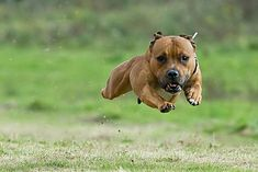 Flying pitty
