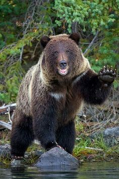 The wildlife and landscape stock photography and images of Canadian nature photographer John E. Including John's grizzly bear, polar bear and wild wolf photography. Bear Cubs, Panda Bear, Polar Bear, Grizzly Bears, Happy Animals, Animals And Pets, Cute Animals, Funny Bears, Cute Bears
