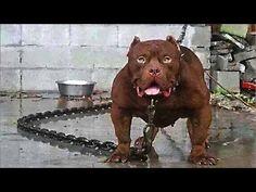 As 10 Raças De Cachorros Mais Perigosas Do Mundo - YouTube
