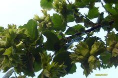 hazelnut tree pictures