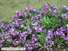 Stunningly beautiful wild flowers of Ladakh