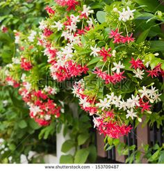 Find Quisqualis Indica Known Chinese Honeysuckle Rangoon stock images in HD and millions of other royalty-free stock photos, illustrations and vectors in the Shutterstock collection. Indian Flowers, Exotic Flowers, Red Flowers, Beautiful Flowers, Fast Growing Vines, Fast Growing Plants, Flowering Creepers, Creepers Plants, Mandevilla Vine