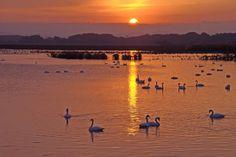The swan fascinated - 103456567741667898676 - Picasa ウェブ アルバム
