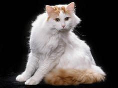 Turkish Van - One of the only cats who loves water! Almost as pretty as my Lily! But my girl is most beautiful little Van-a-like Ever! Turkish Van Cats, Turkish Angora Cat, Crazy Cat Lady, Crazy Cats, All Cat Breeds, Toxic Plants For Cats, Purebred Cats, Exotic Cats, Neko Cat