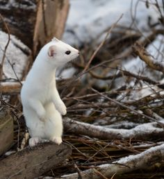 STOAT....also known as Ermine and Short-Tailed Weasel.....found in a variety of habitats in North America, Europe and Asia.....a body length of 6.5 - 9.5 inches, a tail of 3.5 - 4.75 inches and a weight 2.1 - 7 oz....during the winter when turned completely white, usually known as ERMINE