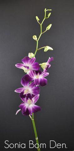 Orchids Dendrobium Bom Bulk Fresh Flowers