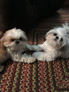 Smart Shih Tzu Puppy Personality - My ideas Shitzu Puppies, Baby Puppies, Cute Puppies, Cute Dogs, Dogs And Puppies, Puppys, Shih Tzu Puppy, Shih Tzus, Animals And Pets