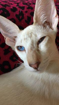 Siamese cat Oriental Cat, Siamese Cats, Animals, Animales, Siamese Cat, Animaux, Animal, Animais