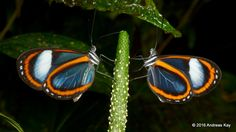 https://flic.kr/p/MyNQAL | Glasswing butterflies | from Ecuador: www.flickr.com/andreaskay/albums