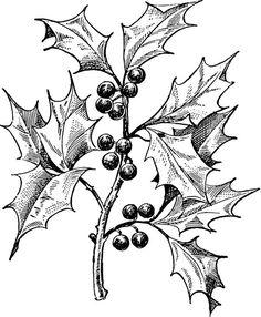 Holly botanical