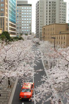Cherry Blossom at Roppongi, Tokyo