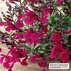 Salvia Burgundy Seduction | Salvia Burgundy Seduction | Low Water Plants, Eco Friendly Landscapes | High Country Gardens