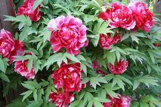 袁晓辉 Rita : 牡丹和芍藥Peony Life Is Good, Bright, Rose, Floral, Flowers, Plants, Inspiration, Biblical Inspiration, Pink