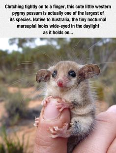 Meet The Nocturnal Marsupial