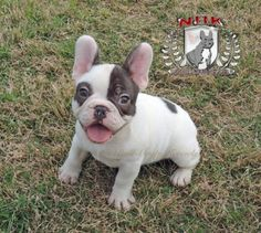 43 Best Rare Colored French Bulldogs Images French Bulldog