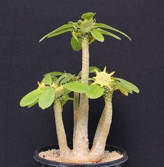 Dorstenia spec. Family: Moraceae