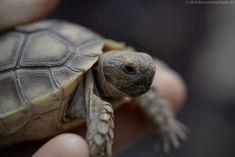 Saint Louis, Turtle, Photos, Animals, Nature Reserve, Turtles, Animales, Animaux, Tortoise Turtle