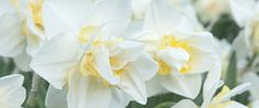 "A photograph of the the spring flowering Daffodil cultivar ""White Lion"""