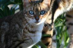Bengal Cat Photo Safari :: Urban Safari Cattery