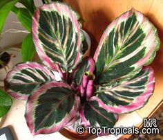 50 Pcs Very Rare Thailand Calathea Flower Seeds Holiday Peacock Plant Low Light High Humidity Easy To Grow Garden Ornaments