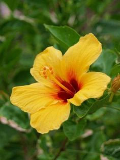 The beautiful yellow hibiscus is Hawaii state flower.
