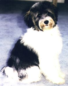 Mandy the Dog. Here is what Mandy looked like. She was a Tibetan Terrier. Unfortunately, she passed away a few years ago but is present in 52 Days The Caner Journal. Huge Dogs, I Love Dogs, Cute Puppies, Dogs And Puppies, Le Terrier, Dog Accesories, Tibetan Terrier, Dog Id, Baby Dogs