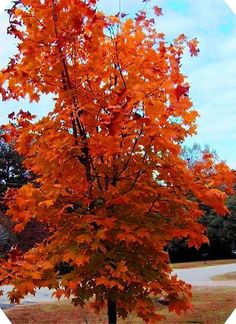 I Won This Gorgeous Sugar Maple Tree In A Drawing At Ace Hardware Store About Ago