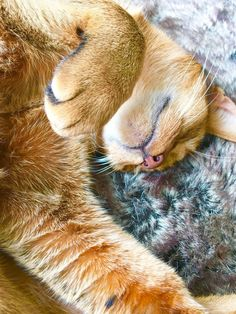 close-up of a sleeping red cat cutie