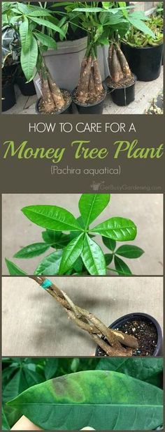 How To Care For A Money Tree Plant | Get Busy Gardening