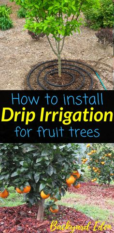 How to install drip irrigation for fruit trees | Drip Irrigation | Fruit Trees | Gardening | Organic Gardening | Apple Tree | Permaculture | Food Forest | Permaculture Homestead | Homestead | Homesteading | Urban Homesteading | Permaculture Farm | Backyard Permaculture | Permaculture Orchard | Backyard-Eden.com