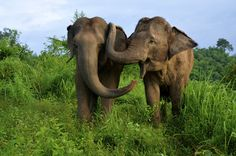 """Asian Elephants Console Each Other When in Distress by Agata Blaszczak-Boxe, livescience: Asian elephants reassure other distressed elephants by touching them and """"talking"""" to them, which suggests they are capable of empathy and reassurance, according to new research. Image by Elise Gilchrist:  #Elephants #Empathy"""