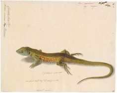 Four-toed whiptail lizard Ameira murinus, now known as Teius teyou (Daudin, 1802), called the four-toed whiptail lizard.[Vierteenameiva]