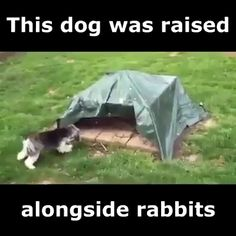 Dog Raised Alongside Rabbits - Funny And Healthy Funny Animal Memes, Dog Memes, Funny Animal Videos, Cute Funny Animals, Funny Animal Pictures, Cute Baby Animals, Funny Cute, Funny Dogs, Funny Humor