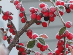 Winter Berries   Photo by Sue Frause